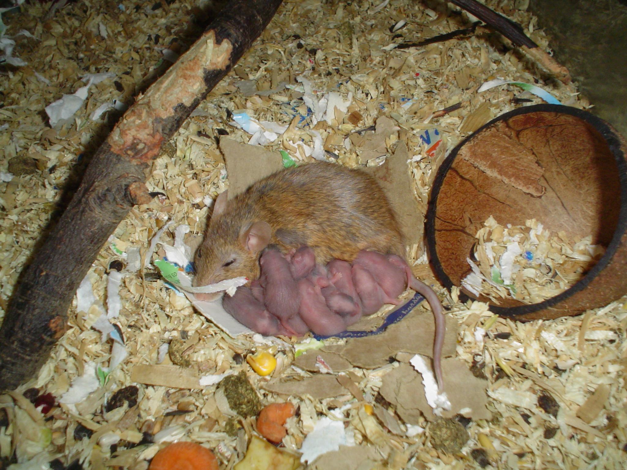Маленькая серенькая мышка во сне трактуется фрейдом как скрытое сексуальное желание, которому вы не даёте выхода.